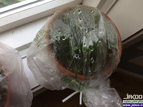 آبیاری گیاهان با  استفاده از چادر و پلاستیک